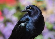Great Tailed Grackle With Garden Flowers Stock Photo