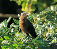 Great tailed grackle in Mexico. Great tailed grackle perched in a tree in Mexico Stock Images