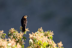 Great-tailed Grackle, Quiscalus mexicanus Stock Photos
