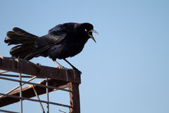 Great-tailed Grackle, Quiscalus mexicanus Stock Photography