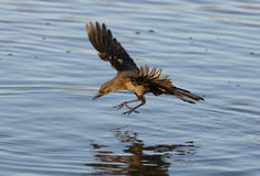 Great-tailed grackle, Quiscalus mexicanus Royalty Free Stock Photography