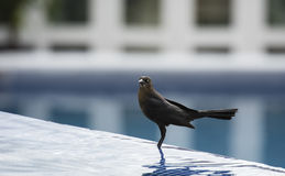 Great-tailed Grackle (Quiscalus mexicanus) in Mexico Stock Photography