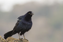 Great-tailed Grackle Stock Image