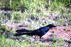 Great-tailed Grackle Stock Images