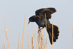 Great-tailed Grackle - Texas. Great-tailed Grackle (Quiscalus mexicanus) - Texas Royalty Free Stock Images