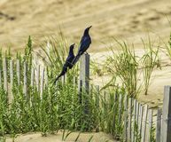 Great-tailed Grackleson the beach stock images