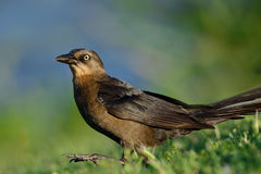 Great-Tailed or Mexican Grackle Female (Quiscalus mexicanus) Royalty Free Stock Photography