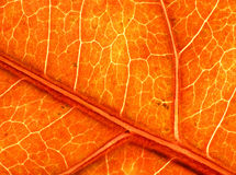 Great texture of autumn leaf Stock Photos