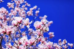 Great texture of magnolia pink fowers on blue sky background. With shallow depth of field and selective focus on flowers petals. Magnolia flowers in spring Stock Photos
