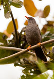 Great Thrush Royalty Free Stock Images