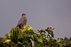 Great Thrush after the rain Royalty Free Stock Photography