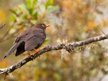 Great Thrush on a twig Royalty Free Stock Photography