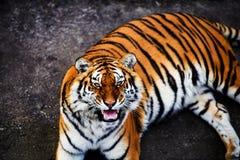 Great tiger male. Amur, animal, beautiful, beauty, bengal, big, carnivore, cat, danger, face, feline, head, hunter, jungle, mammal, nature, panthera, portrait royalty free stock photos