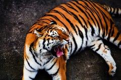 Great tiger male. Amur, animal, beautiful, beauty, bengal, big, carnivore, cat, danger, face, feline, head, hunter, jungle, mammal, nature, panthera, portrait stock photo