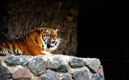 Great tiger male. Animal, wild, wildlife, head, face, nature, tigris, cat, beautiful, mammal, jungle, feline, carnivore, siberian, danger, big, hunter, bengal stock photos