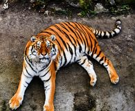 Great tiger male. Amur, animal, beautiful, beauty, bengal, big, carnivore, cat, danger, face, feline, head, hunter, jungle, mammal, nature, panthera, portrait stock image