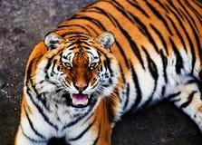 Great tiger male. Amur, animal, beautiful, beauty, bengal, big, carnivore, cat, danger, face, feline, head, hunter, jungle, mammal, nature, panthera, portrait stock photography