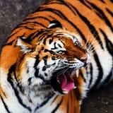 Great tiger male. Amur, animal, beautiful, beauty, bengal, big, carnivore, cat, danger, face, feline, head, hunter, jungle, mammal, nature, panthera, portrait royalty free stock photography