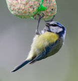 The great tit Royalty Free Stock Image