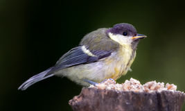 The Great Tit Royalty Free Stock Photo