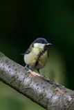 The Great TIT Royalty Free Stock Images