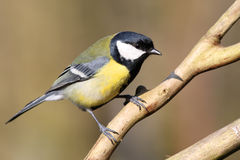 Great tit. Perching on a branch Royalty Free Stock Photo