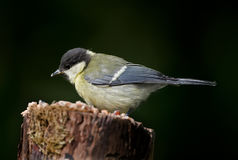 The Great Tit Stock Photos