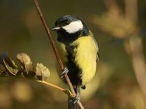 Great Tit. A great tit on a branch Royalty Free Stock Images