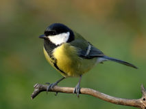 Great tit. Colorful great tit on a peak of a branch, with blurred greenish background royalty free stock photo