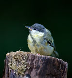 The great tit Stock Images