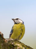The Great Tit Royalty Free Stock Photography