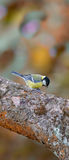 The Great Tit Stock Photo