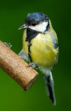 The Great Tit Stock Photography