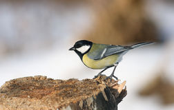 Great Tit stock photo