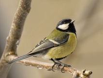 Great tit Stock Images