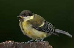 The Great tit Stock Image