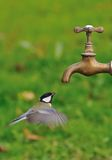 Great tit. Great tit flying to a tap for drinking water Stock Photos