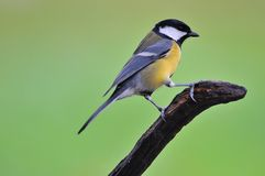 Great tit. Great tit in the rain on a branch Royalty Free Stock Photos