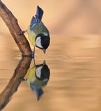 Great tit. Great tit on the shore drinking water Stock Image