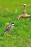 Great tit. Great tit in flight to a tap for drinking water Stock Images