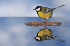 Great tit. Stock Photography