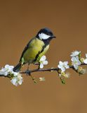 Great Tit. Royalty Free Stock Image
