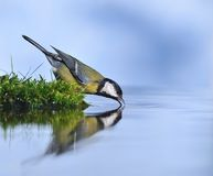 Great tit. Royalty Free Stock Photography