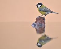 Great tit. Stock Images