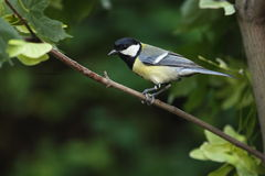 Great Tit Royalty Free Stock Photos
