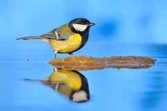 Great Tit. Royalty Free Stock Photo