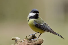 Great tit. A great tit in the forest Royalty Free Stock Photography