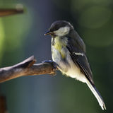 Great tit. On branch portrait in profile Royalty Free Stock Photography