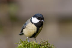 Great Tit. A nice shot of a great tit Stock Photo