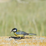 Great tit. Stock Photos